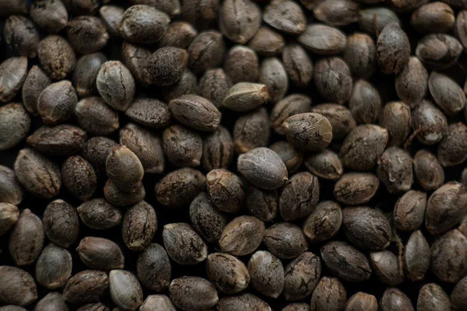 feminizirana semena konoplje