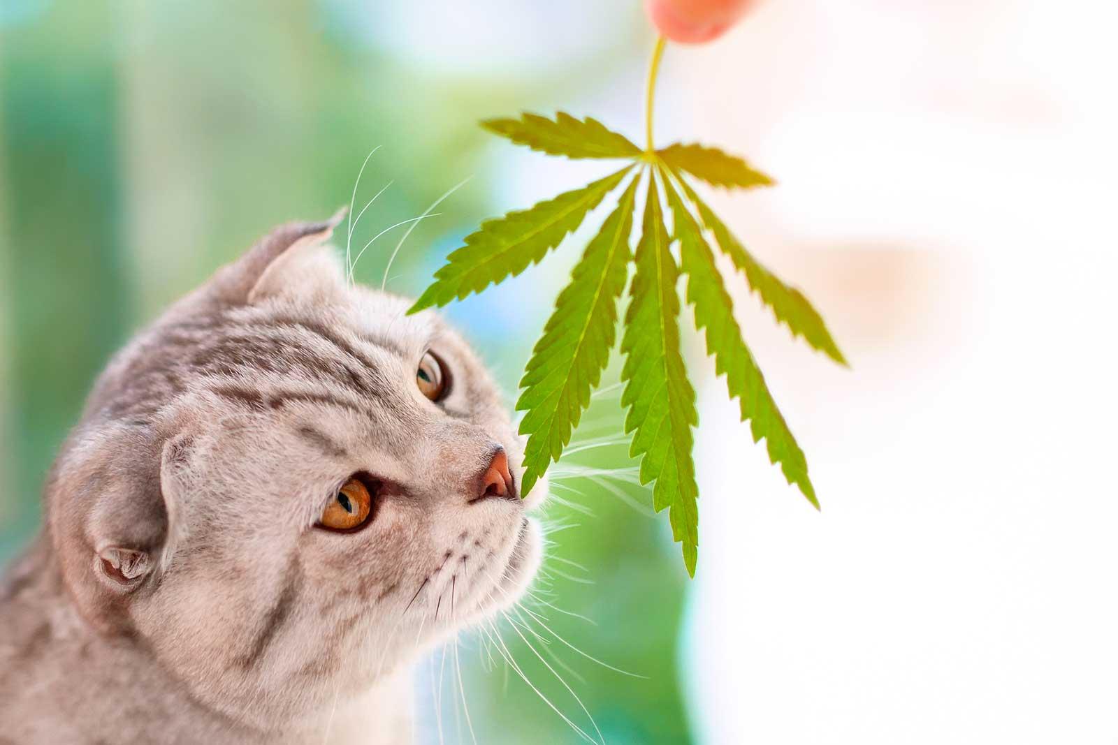 kanabinoidi