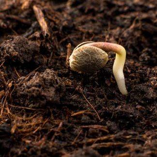 Zbirateljska semena